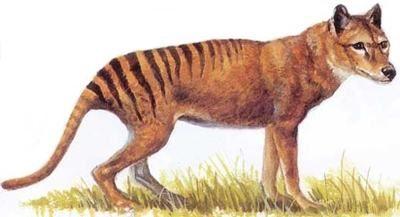 tigre-da-tasmania-300x162 Animais Extintos - Fotos