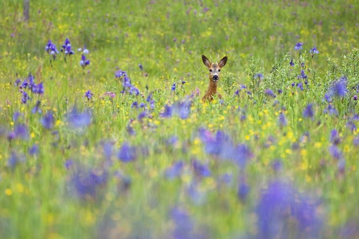 Un corzo entre lirios siberianos (Capreolus capreolus e Iris sibirica) en ESLOVAQUIA (Parque Nacional Poloniny). Autor: Konrad Wothe (Wild Wonders of Europe)