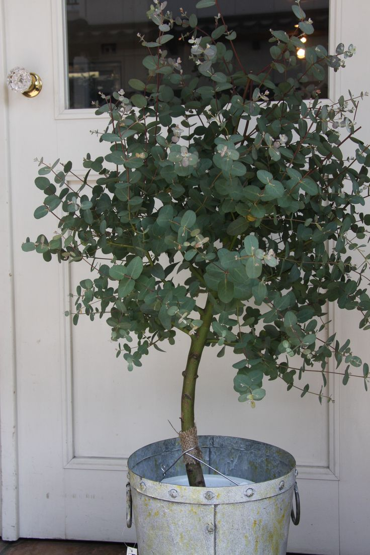 This is my favorite scent for the home so clean and relaxing!! ////How to Grow Eucalyptus Indoors or Outdoors #home #plants #nature