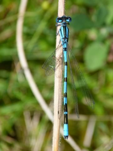 Common Blue Damselfly: egg cup or tumbler? | Nature Notes