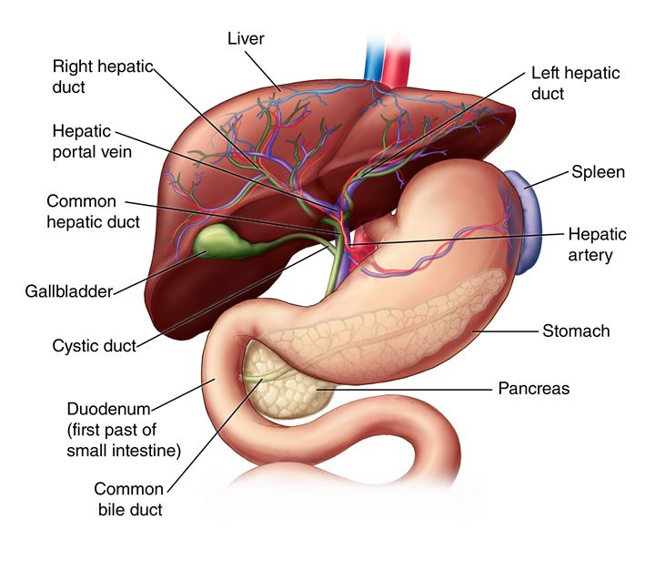 (1) Liver anatomy- The liver is located in the upper right-hand portion of the abdominal cavity, beneath the diaphragm, and on top of the stomach, right kidney, and intestines. Shaped like a cone, the liver is a dark reddish-brown organ that weighs about 3 pounds. There are two distinct sources that supply blood to the liver, including the following: Oxygenated blood flows in from the hepatic artery. Nutrient-rich blood flows in from the hepatic portal vein The liver holds about one pint…