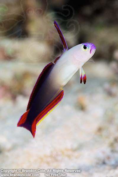 Fire Dartfish (Nemateleotris magnifica). Australia Great Barrier Reef Pacific Ocean. Photo Copyright © Brandon Cole.