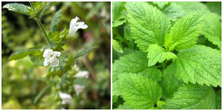 Lemon Balm - Lemon balm grows quickly and produces abundant, lemon-scented foliage and white nectar-filled flowers, attractive to honeybees. Uses are culinary as well as cosmetic and medicinal; add finely chopped leaves to baked goods, steep whole leaves as a complement to peppermint tea, or use crushed leaves to provide relief from itching bug bites.
