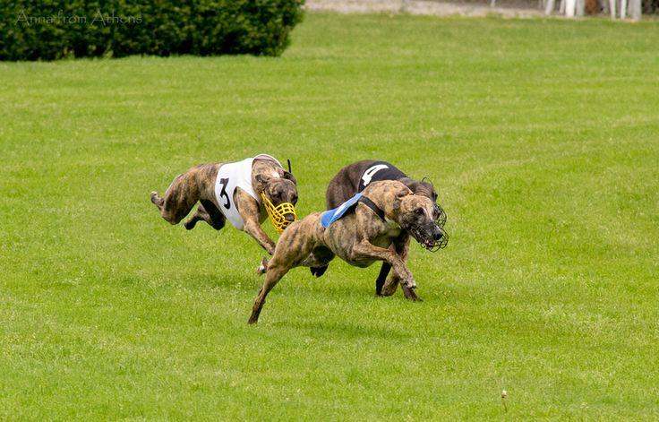 Dog racing  Cynodrome de Versoix April 2014