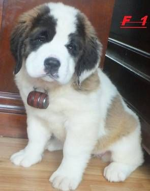 AKC  Champ blood Saint Bernard puppies for sale !