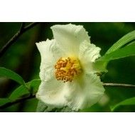 Stewartia Pseudocamelia - Planter til haven