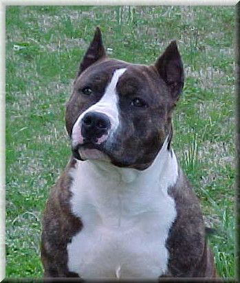 American Staffordshire Terriers.. Bully breed.   The very best of all dogs.   I love my bully. He is the best dog ever!!   These dogs are kind and very loving and loyal.