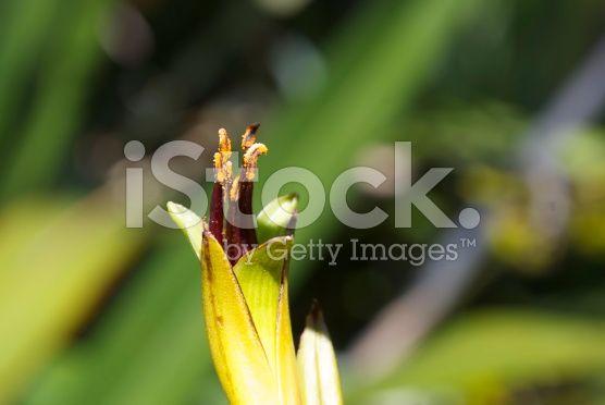 Harakeke (New Zealand Flax) in Bloom royalty-free stock photo