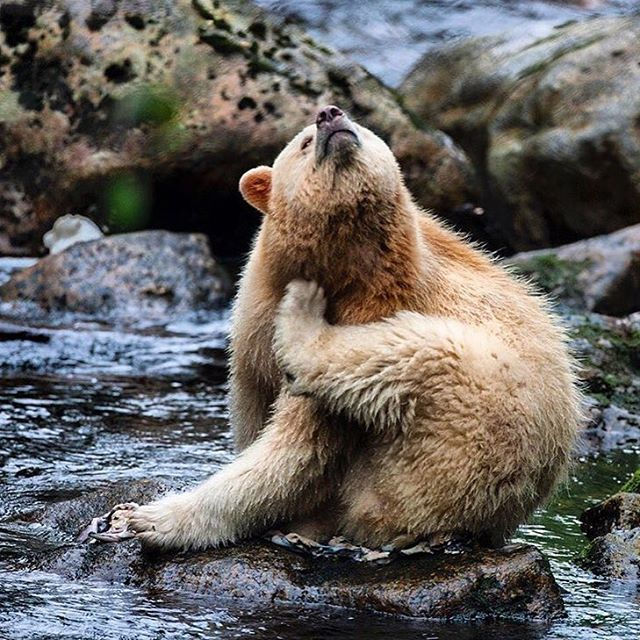 """""""Photo by @paulnicklen with @cristinamittermeier // Komode Bear (also known as a Spirit Bear) takes a break from gorging on salmon in the Great Bear…"""""""