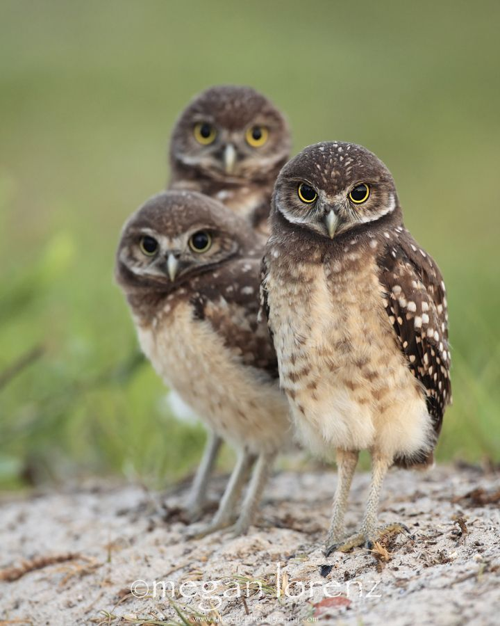 Triplet Burrowing Owlets, Cape Coral, Florida | Megan ...