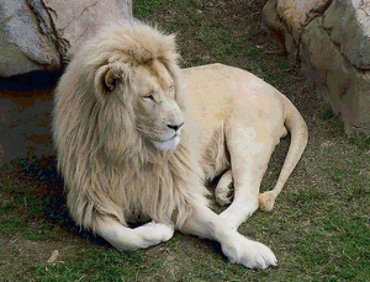черный лев, правда или миф, существуют ли черный лев,