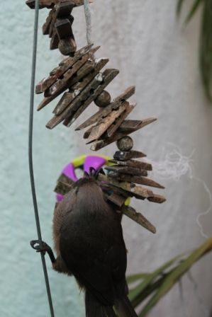 Small to medium bird toy in a spiral shape, laden with pine slats and colored beads for your bird's chewing pleasure!  This image is of our mousebird who forages through the waffle ball attached to the bottom.