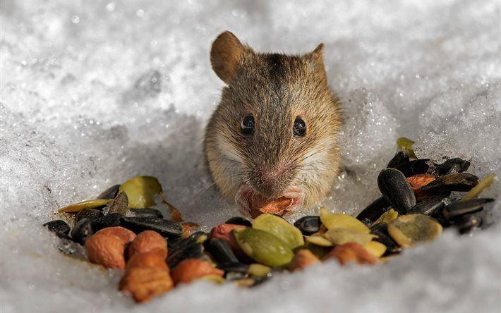 mouse in winter | Herunterladen hintergrundbild nagetier -, schnee -, samen -, feld-maus ...