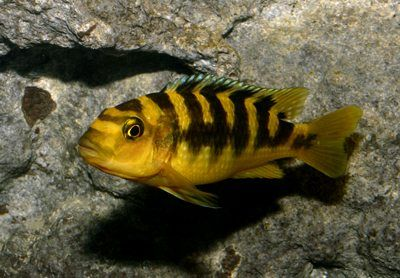 Bumblebee African Cichlid | ...& here's baby kickin'!