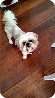 ADOPTED - La Verne, CA - MUTTS N STUFF SMALL DOG RESCUE, Shih Tzu Mix. Meet Spencer, a dog for adoption. http://www.adoptapet.com/pet/15090609-la-verne-california-shih-tzu-mix