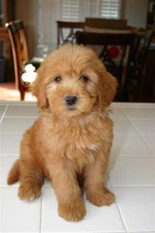 Goldendoodle...one of two types of dogs I'd get :)