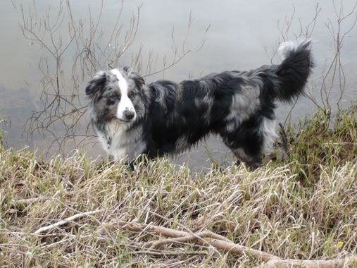 17 Best images about Australian Shepherds on Pinterest ...