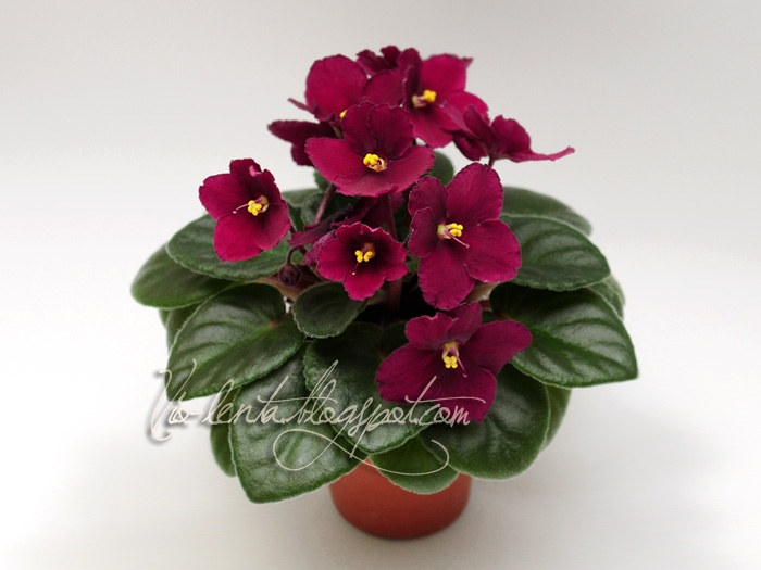 Red Flowering House Plants 124 best flores - violetas images on pinterest | african violet