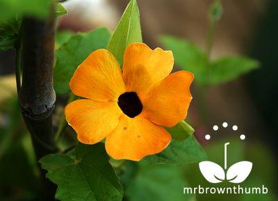 Black-Eyed Susan Vine Flowers, thunbergia alata plant, collecting seeds