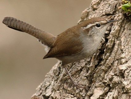 Bewick's Wren. Built a nest in our back yard Summer 2014.