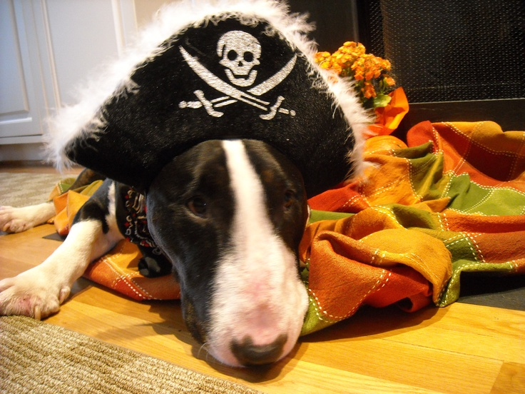 Batu, my Bull Terrier.  ARRGGHH!: Dogs, Animal Friends