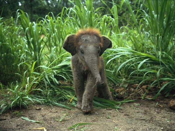 Baby Asian Elephant in Tall Grass  Photograph by William Albert Allard    Baby elephants are born big, standing approximately three feet (one meter) tall and weighing 200 pounds (91 kilograms) at birth. They nurse for two to three years, and are fully mature at 9 (females) to 15 (males) years of age.