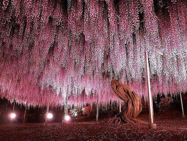 Albero di glicine 150 anni,Japan