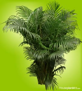 how to keep cats of areca palms and other houseplants http