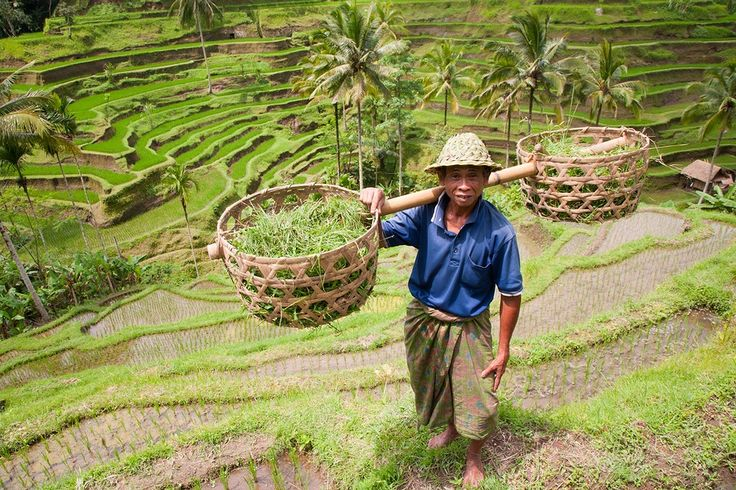 Philippines ban on gmos leaves asia shocked bali rice