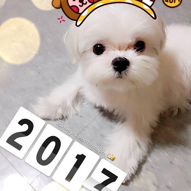 🎉2017....✈🎶🎆 #today#night#happ new year#2017#photography#maltes#pet#dog#瑪爾濟斯#愛犬#寵物#말티즈# 망스타그램