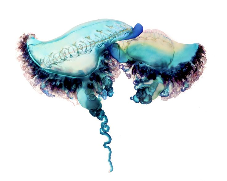 "The fascinating National Geographic online feature ""Deadly Beauty"" provides an up-close examination of the highly venomous marine invertebrate, the Portuguese man-of-war, through the photography an..."
