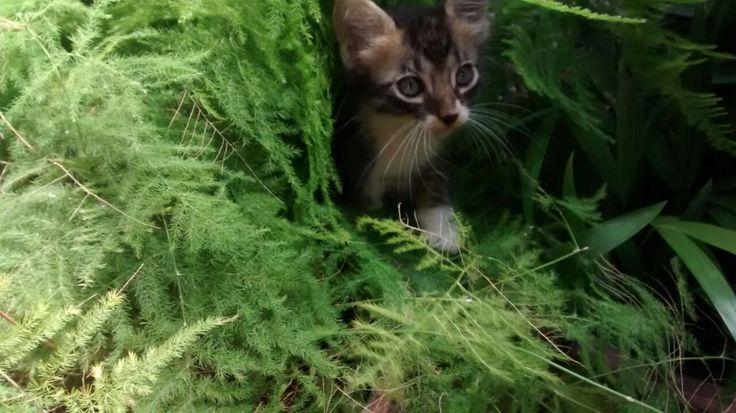 Esta es la historia de un lindo gatito, no el de Piolín, era el hijo de Minina, una gata osada que un día llegó a casa y se quiso quedar con nosotros. Antúan, era el nombre de este gatito, lo regale en el año 2016... y a los pocos días fue atropellado y muerto por una moto-taxista. Hoy aún recuerdo este precioso animal. Esta foto fue tomada en casa, estaba el metido en una potera que contenía una planta de amor de madre.
