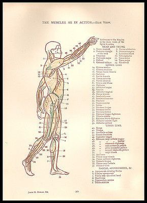 Muscles in Action Side View Anatomy Illustration Diagrams 1924