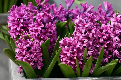 Learn how to force spring-flowering bulbs like hyacinth and tulips indoors, so you can enjoy their blooms for another year.