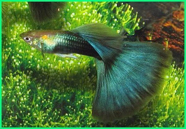 40 Jenis Ikan Guppy Yang Bagus Beserta Keterangan Dan Gambarnya Gupi