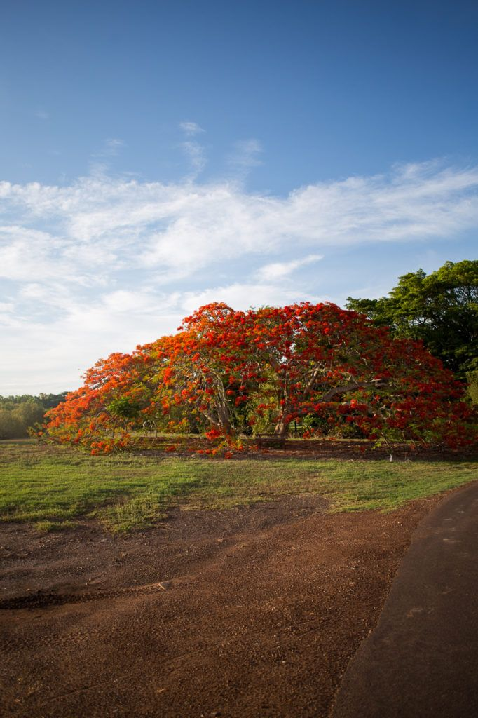 The Flame Trees Flower Again
