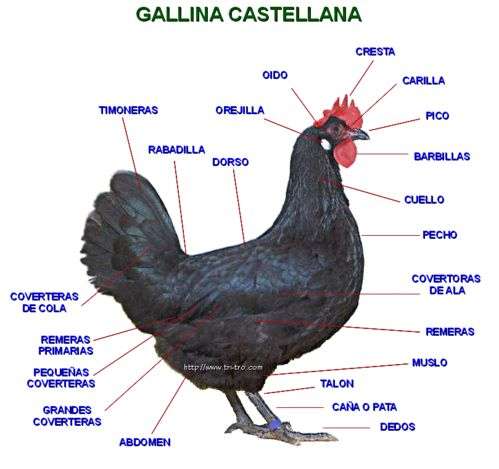 Descripción de zonas de la Gallina Castellana negra