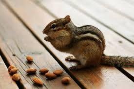 Resultado de imagen de animales comiendo almendras