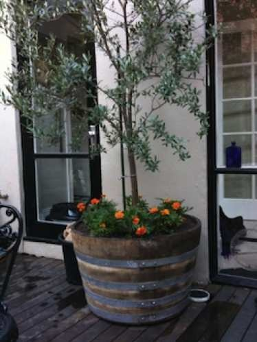 wine barrel olive tree- love love love with creeping rosemary at base.