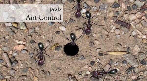 Ants In Vegetable Garden Australia In 2020 Ant Control Garden Pests Pests
