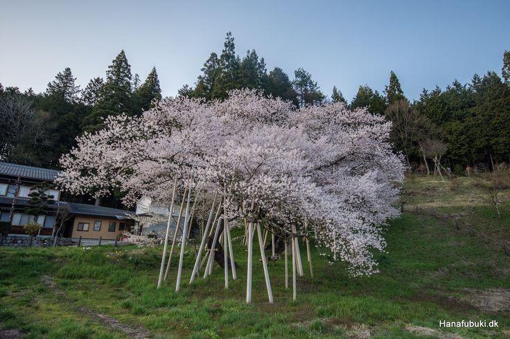 Garyu sakura famous cherry tree, over 1000 years old. Near Ichinomiya station, Takayama