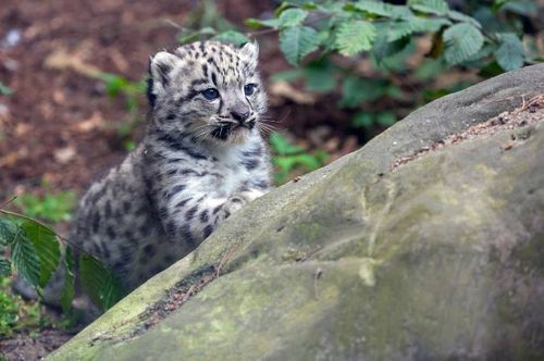 The secret's out:  there's a Snow Leopard cub at Germany's Zoo Krefeld! Because the cub's mother, Dari, is a first-time mom and experienced a difficult delivery, the zoo staff waited a few weeks to announce the cub's arrival.  Born June 13, the cub is now healthy, strong, and as you can see from the pictures, quite photogenic!