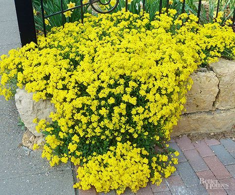 Commonly called Basket of Gold, perennial alyssum makes a wonderful wall or rock garden plant. Every spring it develops masses of cheerful yellow flowers that look terrific tucked between rocks and boulders. Alyssum grows 6-12 inches tall and thrives in full sun and well-drained soil. In warmer regions this plant can be short lived, so replant every year or two. You can grow perennial alyssum from seeds or nursery transplants. Botanic Name: Aurinia saxatilis Zones: 4-7 Light: Full sun