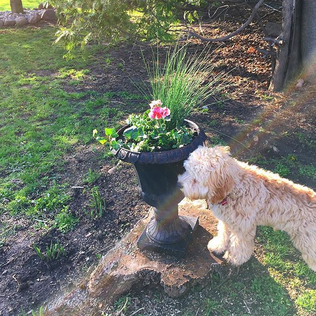 How Nice Is This Planter My Mom Just Made Flower Plantlife Cockapoo Puppy Cockapoo Puppies Cockapoo Puppies