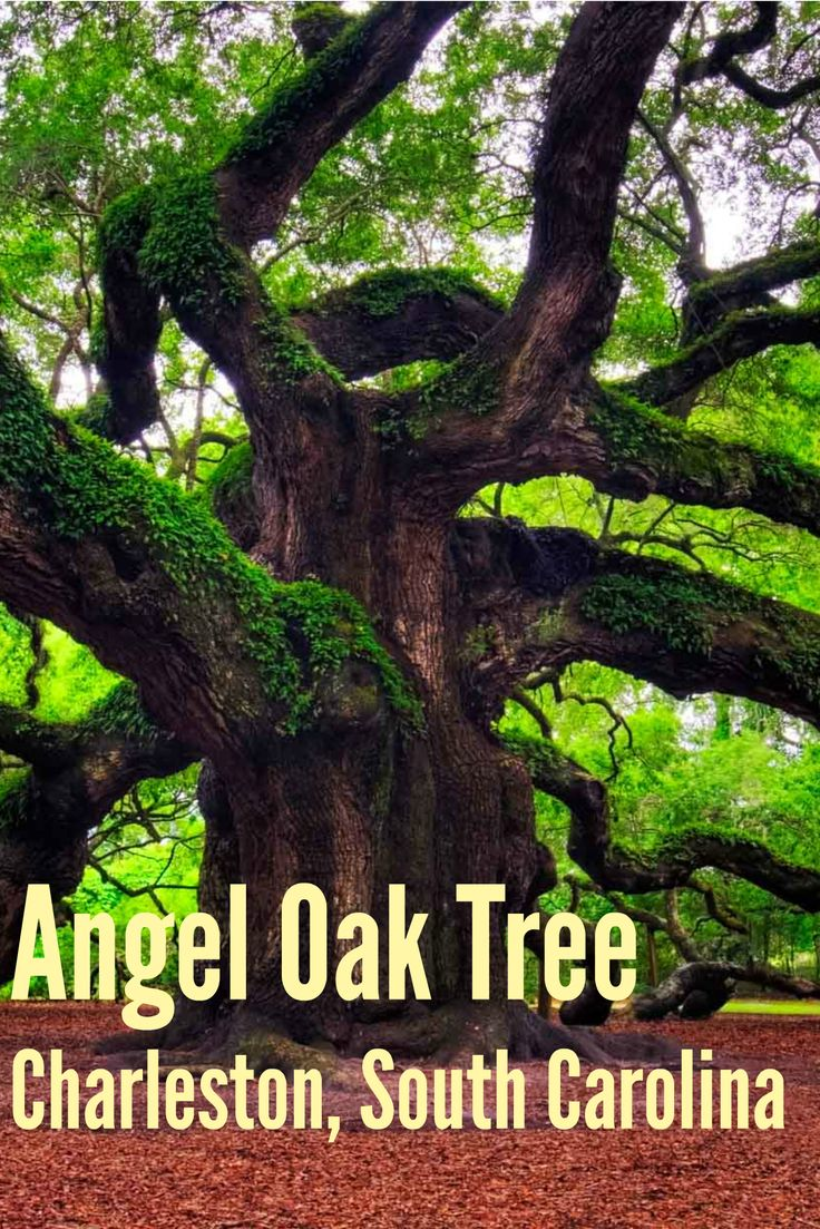 The Magnificent Angel Oak Tree in CharlestoN. If you don't mind going for a drive, the Angel Oak Tree is definitely worth a visit! It's believed to be over 1500 years old and is truly stunning.