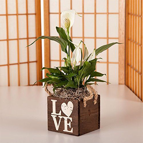 Introducing Peace Lily in Wood Love Container  Live Plant Gift  Green Gift  Sympathy Gift  Sympathy Plant  Bereavement Gift Valentines Plant  Ships fast via 2Day Air. Great Product and follow us to get more updates!