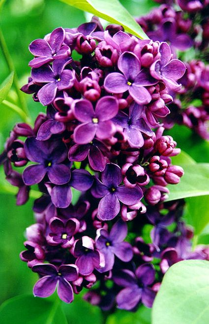 I want a hedge of all different lilacs - dark ones like this ate my favorites though