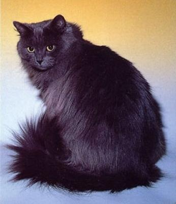 Siberian cat (February 2013 I will get my own black Siberian kitten