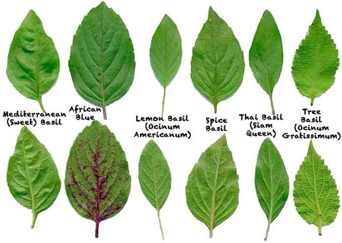 9 best Asian Herbs images on Pinterest Herbs Plants and Food