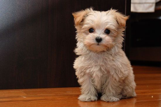 Malti Poo puppies I want one of these little guys so much!